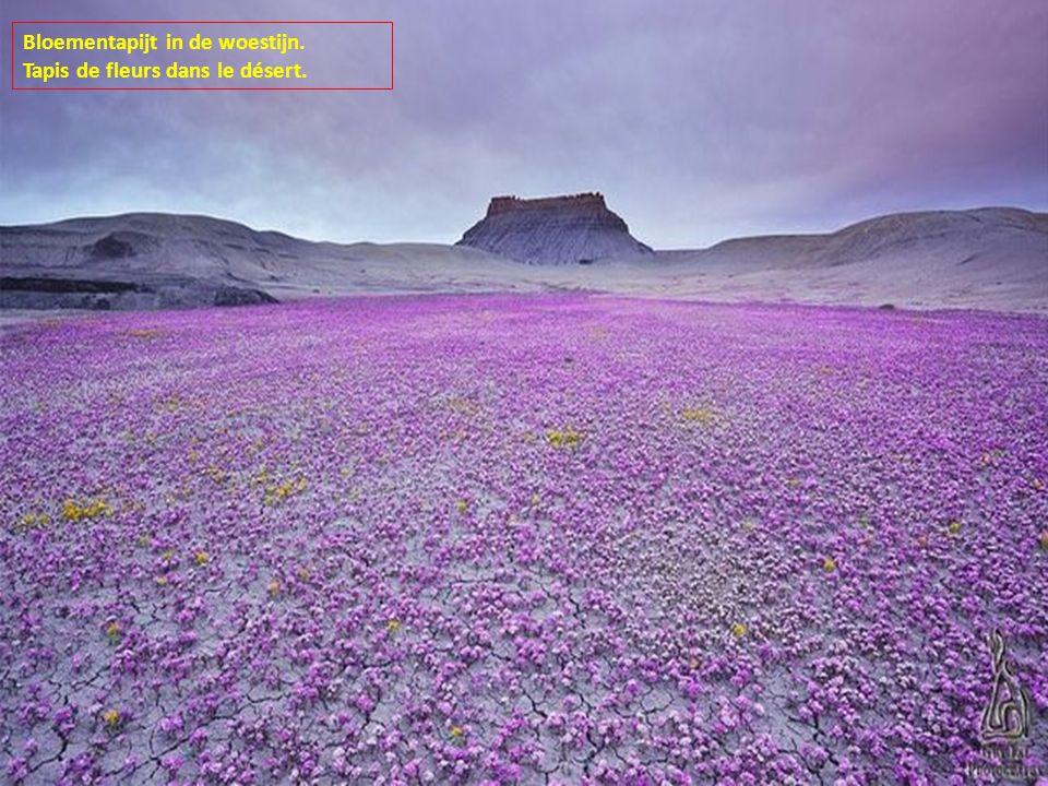 Bloementapijt in de woestijn. Tapis de fleurs dans le désert.