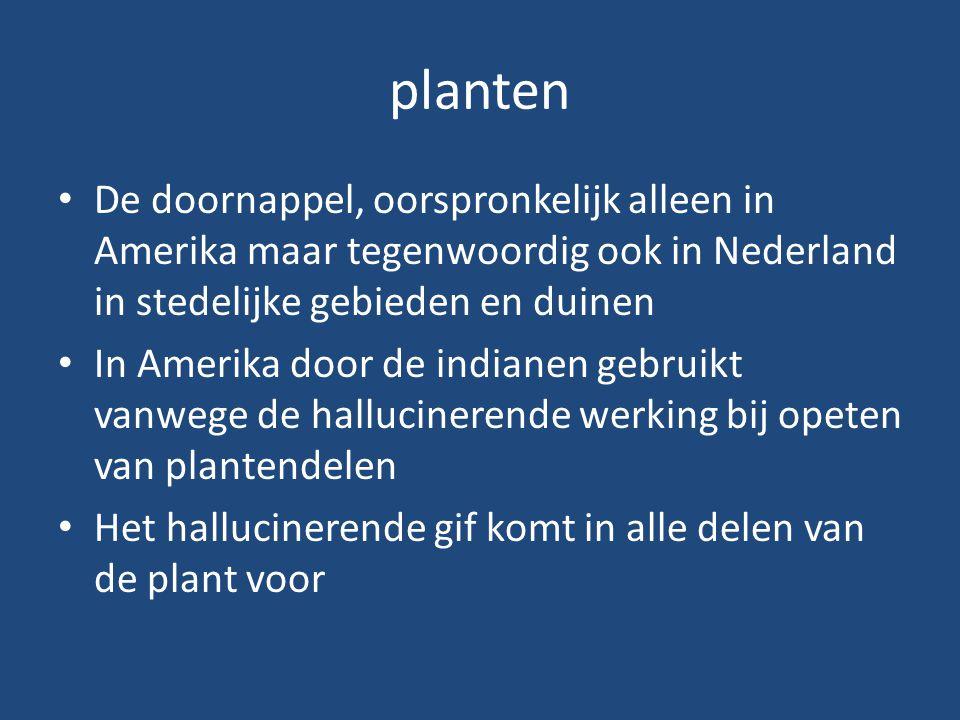 planten De doornappel, oorspronkelijk alleen in Amerika maar tegenwoordig ook in Nederland in stedelijke gebieden en duinen In Amerika door de indiane
