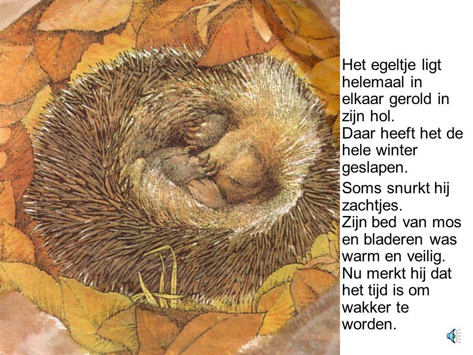 De hele avond en de hele nacht blijft de egel in zijn schuilplaats.