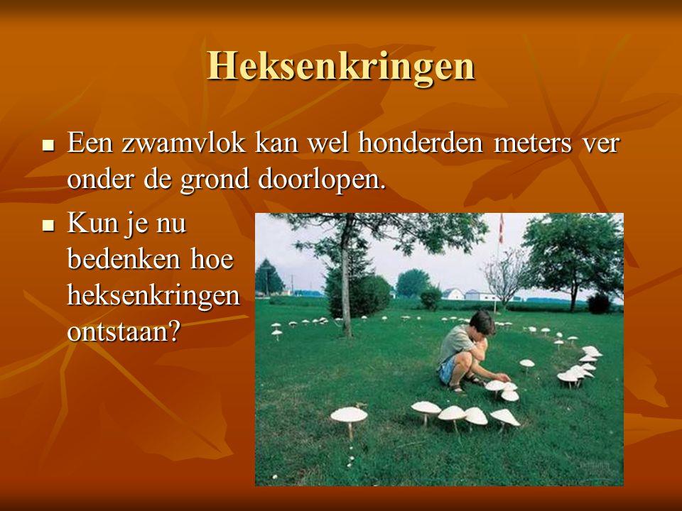 Heksenkringen Een zwamvlok kan wel honderden meters ver onder de grond doorlopen. Een zwamvlok kan wel honderden meters ver onder de grond doorlopen.