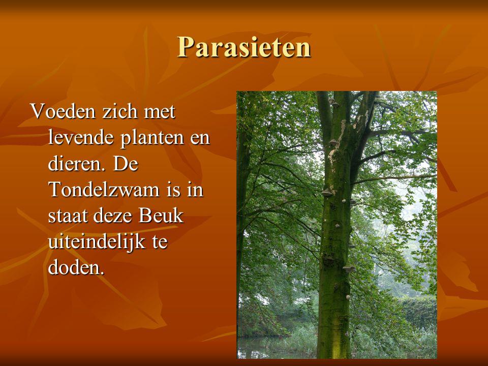 Parasieten Voeden zich met levende planten en dieren. De Tondelzwam is in staat deze Beuk uiteindelijk te doden.