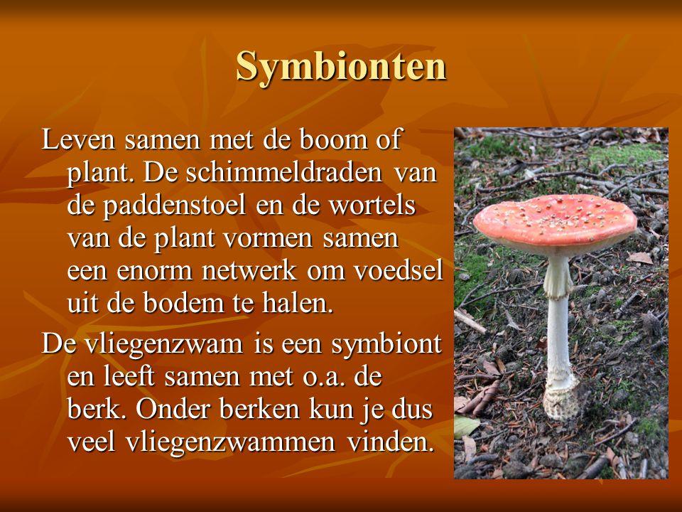 Symbionten Leven samen met de boom of plant. De schimmeldraden van de paddenstoel en de wortels van de plant vormen samen een enorm netwerk om voedsel