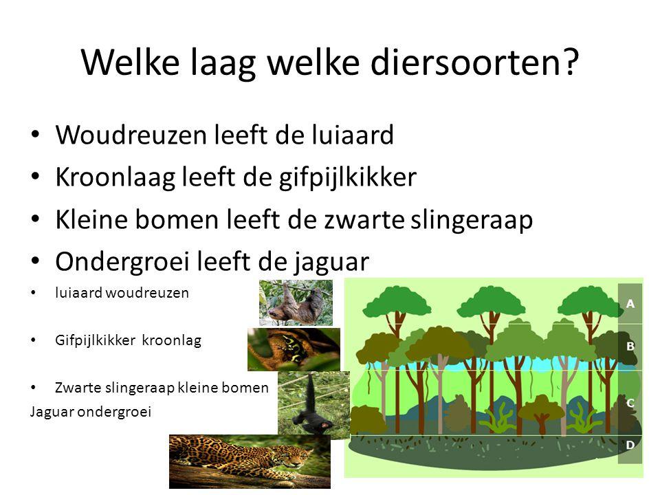 Welke laag welke diersoorten? Woudreuzen leeft de luiaard Kroonlaag leeft de gifpijlkikker Kleine bomen leeft de zwarte slingeraap Ondergroei leeft de