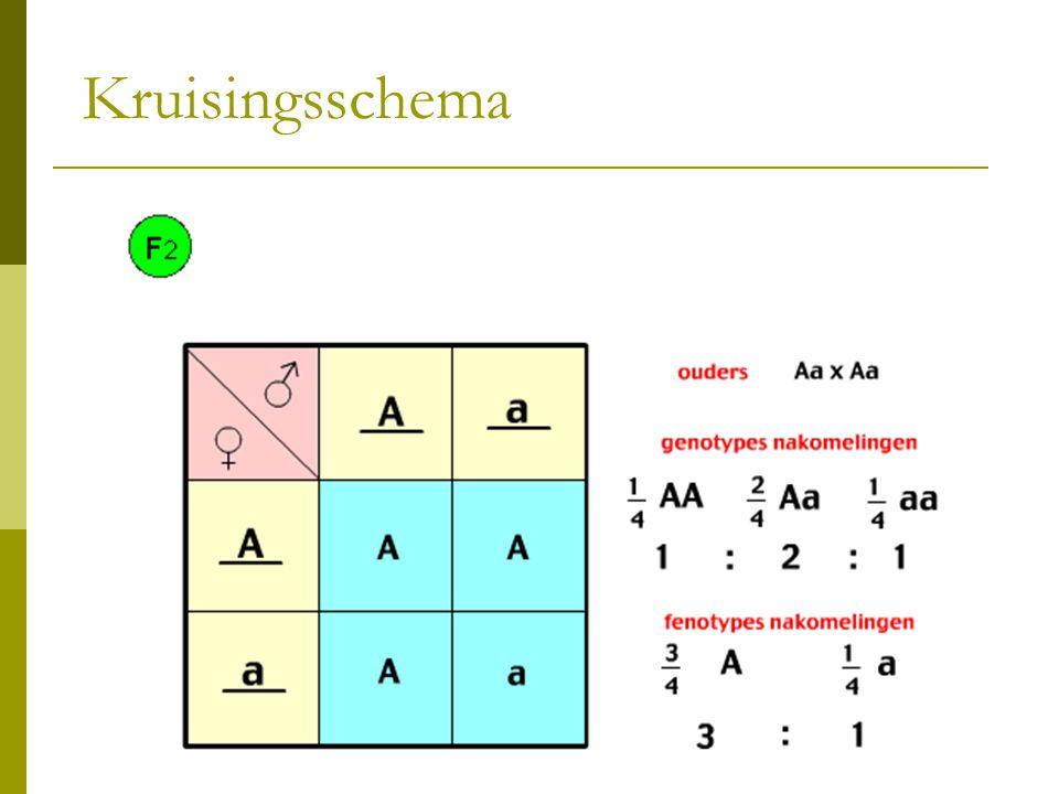 Kruisingsschema