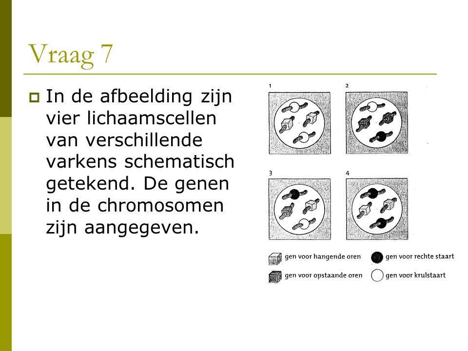 Vraag 7  In de afbeelding zijn vier lichaamscellen van verschillende varkens schematisch getekend. De genen in de chromosomen zijn aangegeven.
