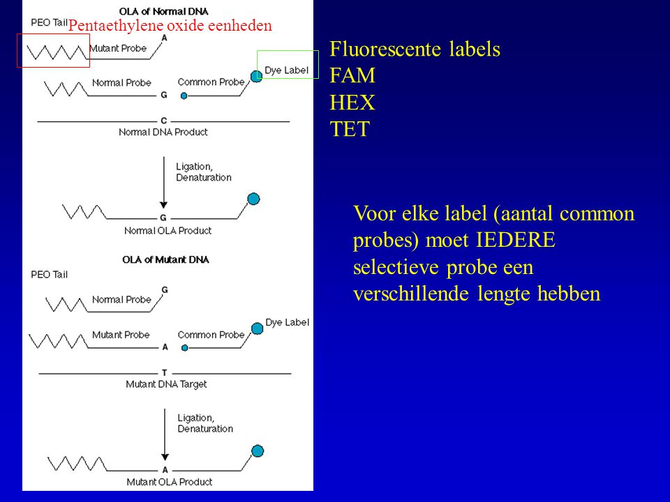 Pentaethylene oxide eenheden Fluorescente labels FAM HEX TET Voor elke label (aantal common probes) moet IEDERE selectieve probe een verschillende len