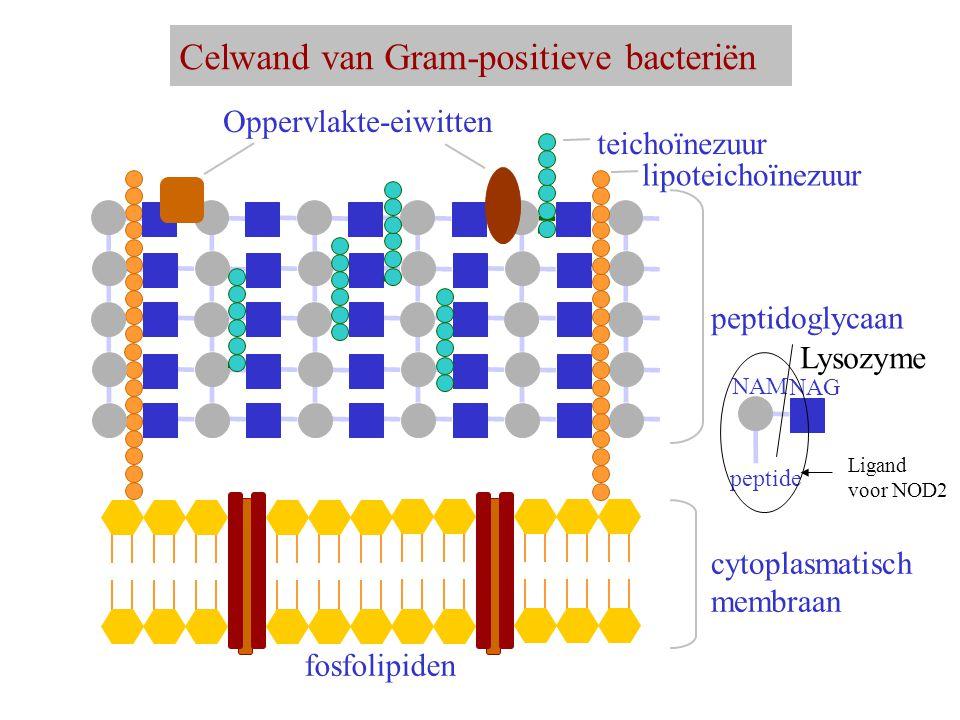 Celwand van Gram-positieve bacteriën cytoplasmatisch membraan fosfolipiden peptidoglycaan Oppervlakte-eiwitten teichoïnezuur lipoteichoïnezuur NAM NAG peptide Lysozyme Ligand voor NOD2
