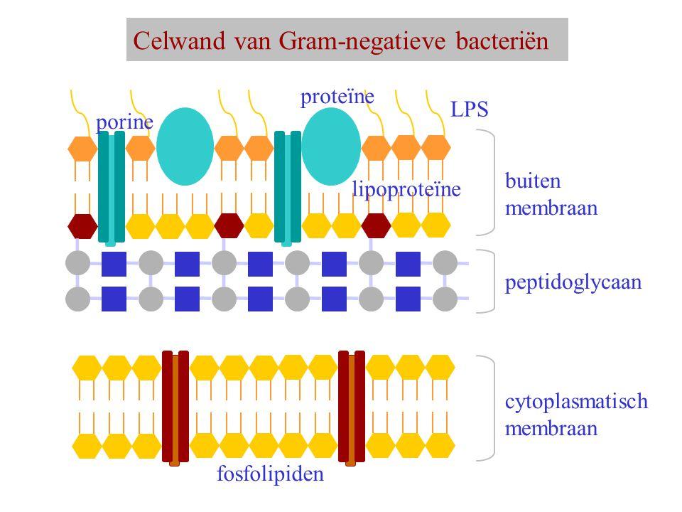 Celwand van Gram-negatieve bacteriën peptidoglycaan buiten membraan LPS proteïne porine cytoplasmatisch membraan fosfolipiden lipoproteïne