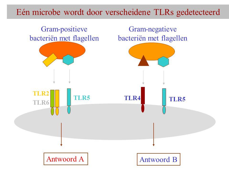 Eén microbe wordt door verscheidene TLRs gedetecteerd TLR2 TLR6 TLR5 Gram-positieve bacteriën met flagellen Antwoord A TLR4 TLR5 Gram-negatieve bacteriën met flagellen Antwoord B