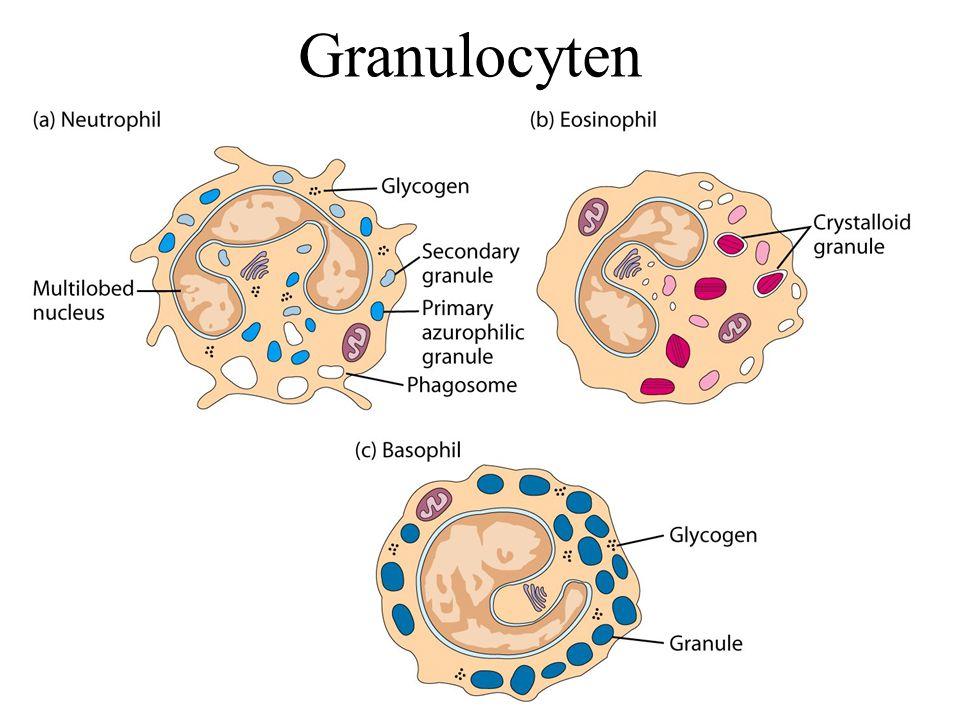 Granulocyten