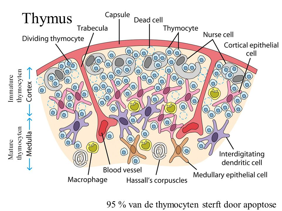 Thymus Immature thymocyten Mature thymocyten 95 % van de thymocyten sterft door apoptose