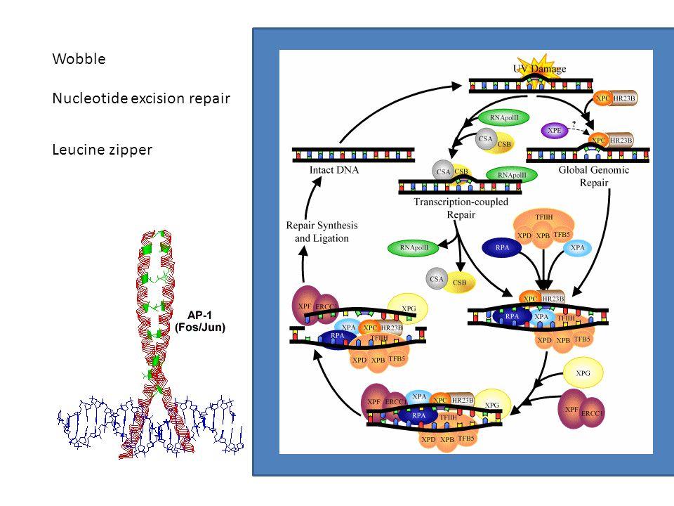 Wobble Nucleotide excision repair Leucine zipper