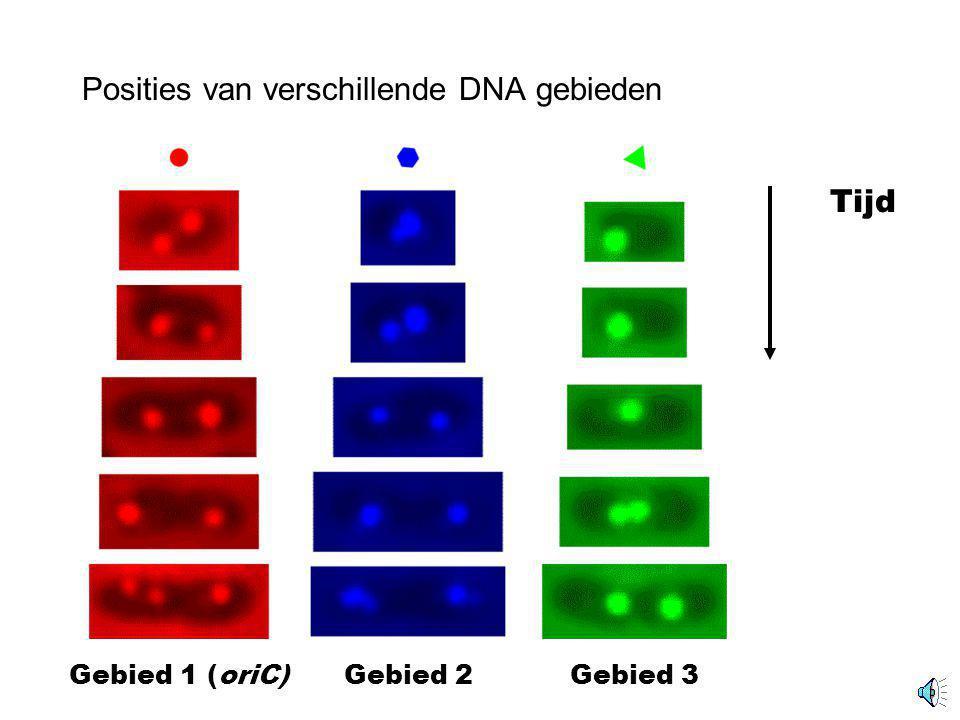 Positie van fluorescent gelabeld DNA gebied E. coli oriC 100x 10x