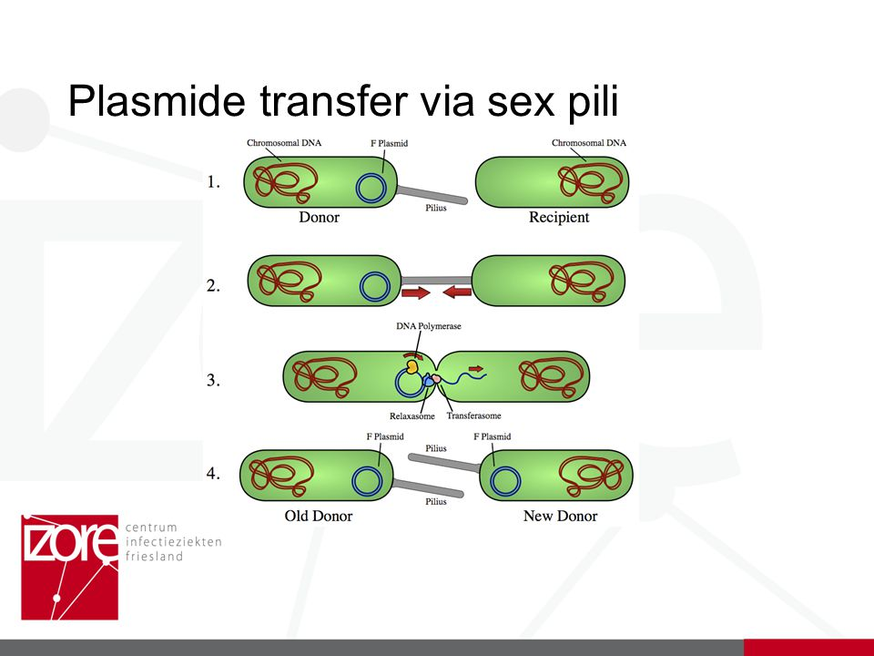 Plasmide transfer via sex pili