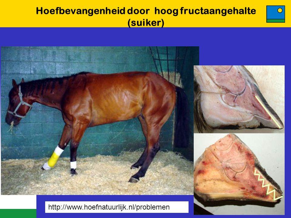 Hoefbevangenheid door hoog fructaangehalte (suiker) http://www.hoefnatuurlijk.nl/problemen