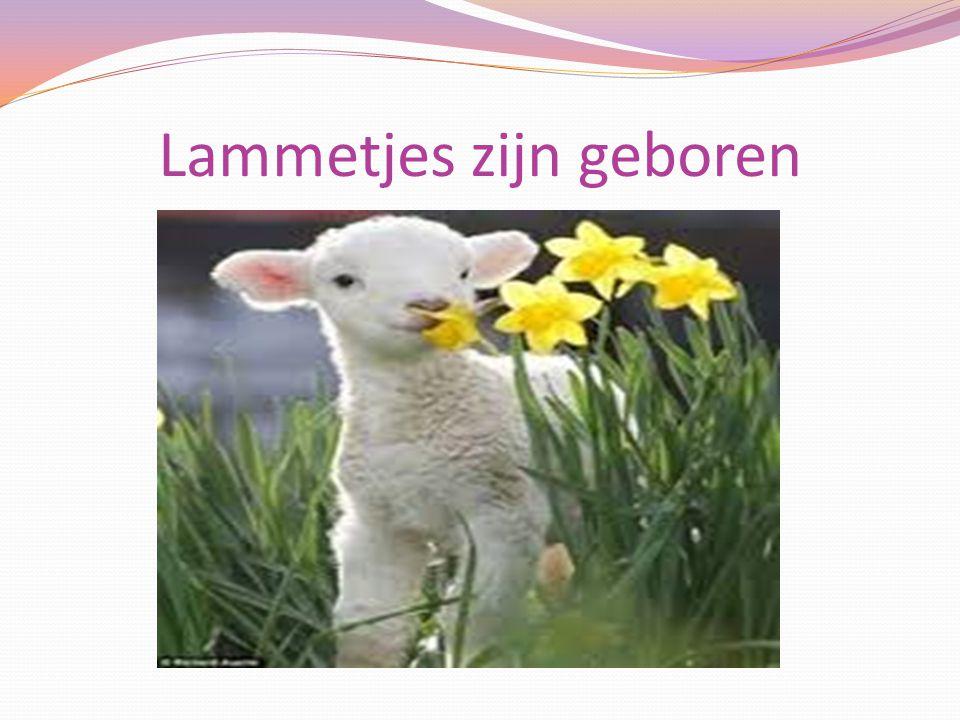 Lammetjes zijn geboren