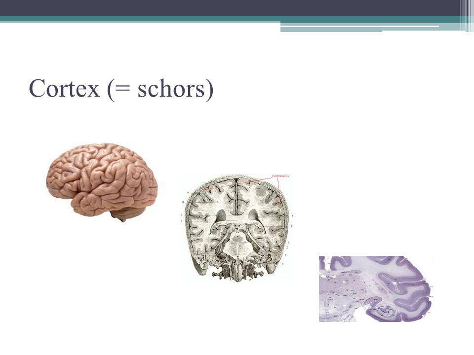 Cortex (= schors)