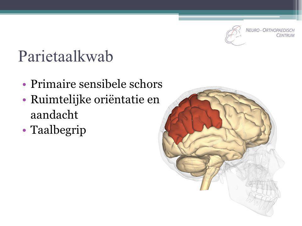 Parietaalkwab Primaire sensibele schors Ruimtelijke oriëntatie en aandacht Taalbegrip