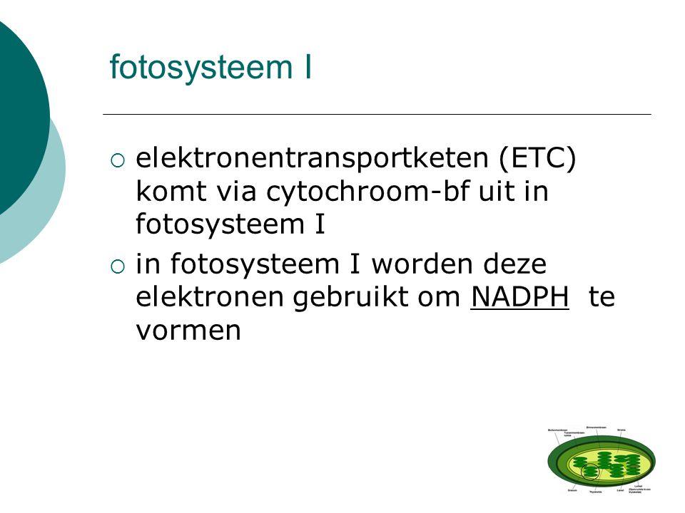 fotosysteem I  elektronentransportketen (ETC) komt via cytochroom-bf uit in fotosysteem I  in fotosysteem I worden deze elektronen gebruikt om NADPH