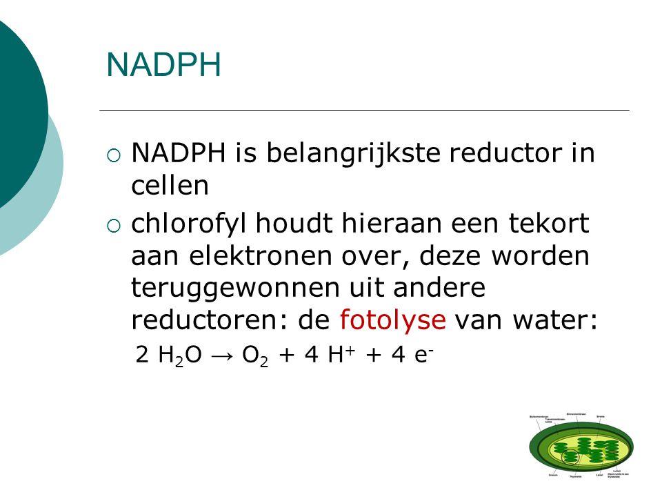 NADPH  NADPH is belangrijkste reductor in cellen  chlorofyl houdt hieraan een tekort aan elektronen over, deze worden teruggewonnen uit andere reduc