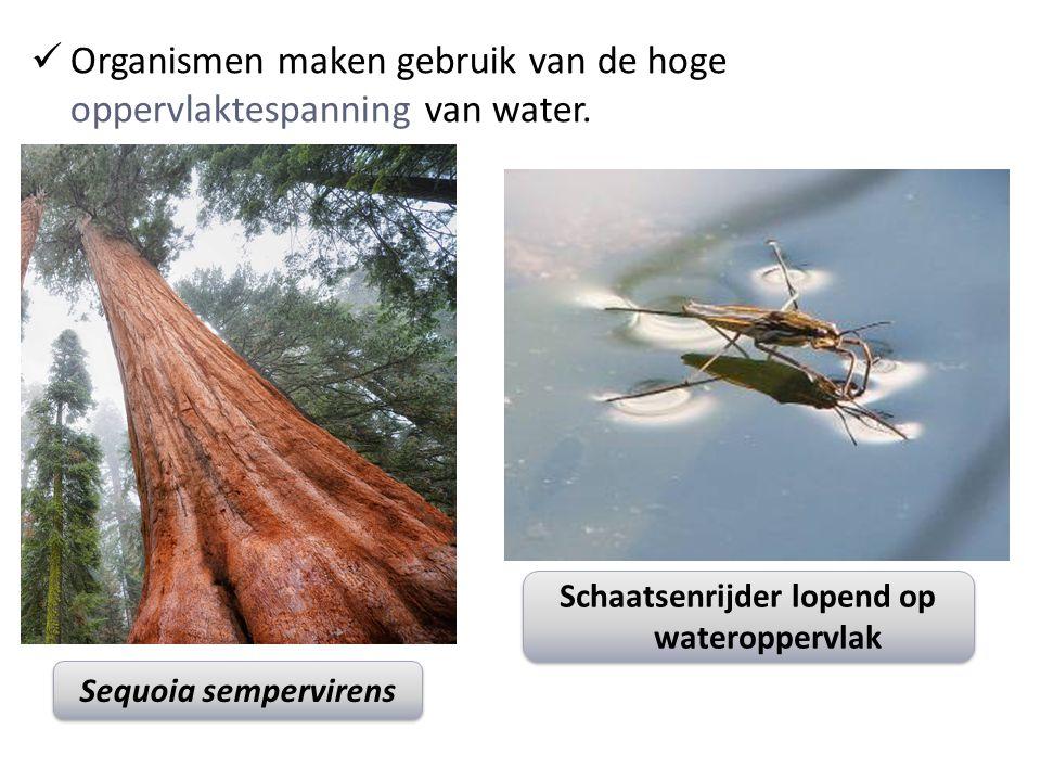 Organismen maken gebruik van de hoge oppervlaktespanning van water.