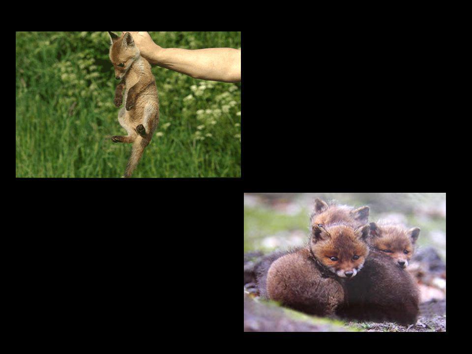 Uitleg 1 Jonge vossen eten druiven: –De jonge druiven –Ze eten ze als ze net beginnen te groeien Gevolg: –Wijngaard zonder vrucht.