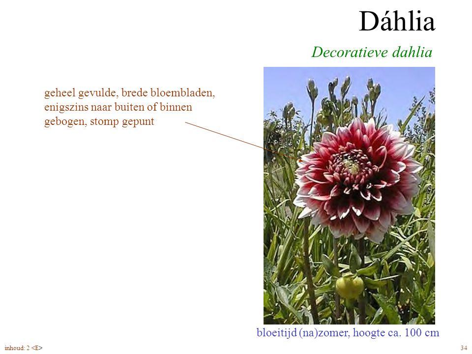 Dáhlia decoratief bloeitijd (na)zomer, hoogte ca. 100 cm Decoratieve dahlia Dáhlia geheel gevulde, brede bloembladen, enigszins naar buiten of binnen