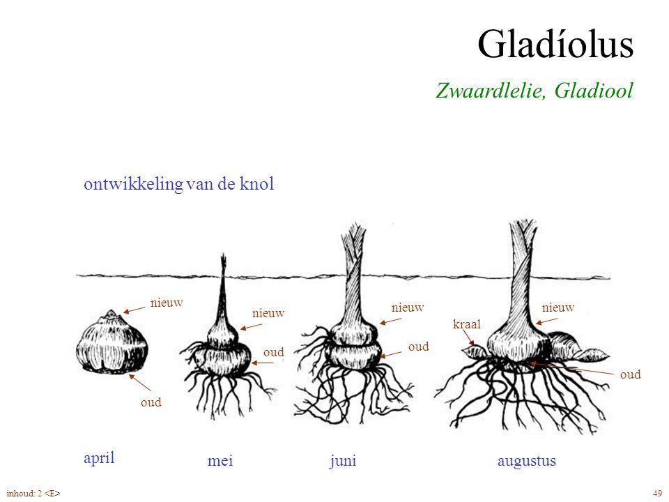 Gladíolus Zwaardlelie, Gladiool knolmaat 12/14, plantdiepte ca. 10 cm ontwikkeling van de knol inhoud: 2 49 mei april juniaugustus nieuw oud nieuw oud