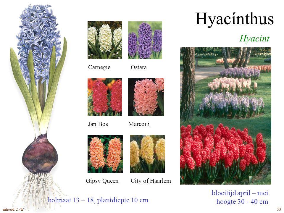 Hyacínthus bloeitijd april – mei hoogte 30 - 40 cm Hyacint CarnegieOstara Jan BosMarconi Gipsy QueenCity of Haarlem bolmaat 13 – 18, plantdiepte 10 cm
