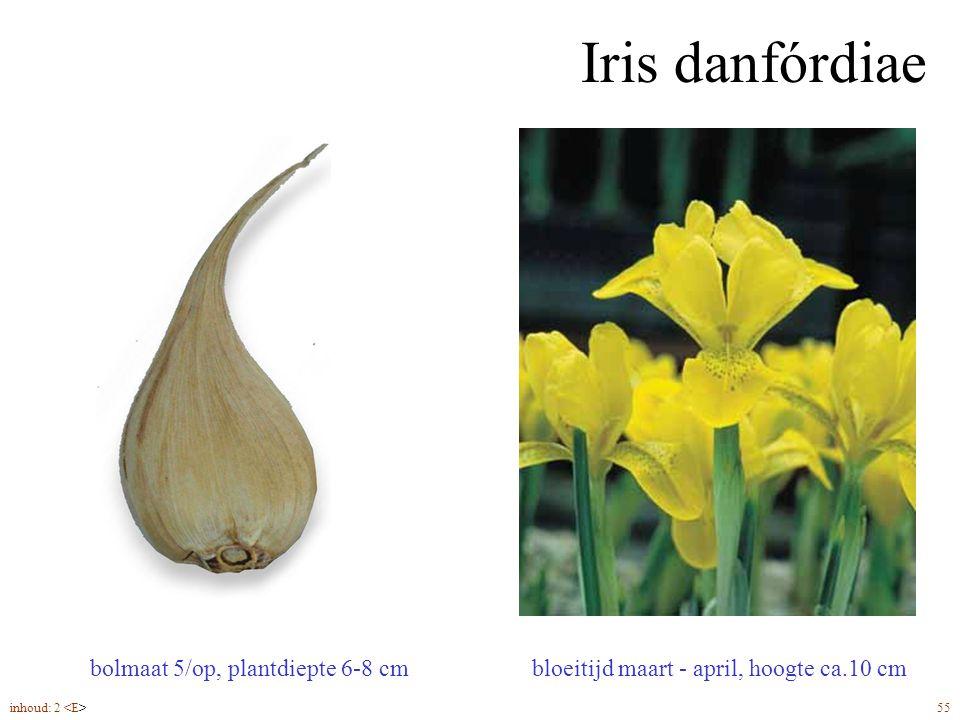Iris danfórdiae bloeitijd maart - april, hoogte ca.10 cm bolmaat 5/op, plantdiepte 6-8 cm inhoud: 2 55