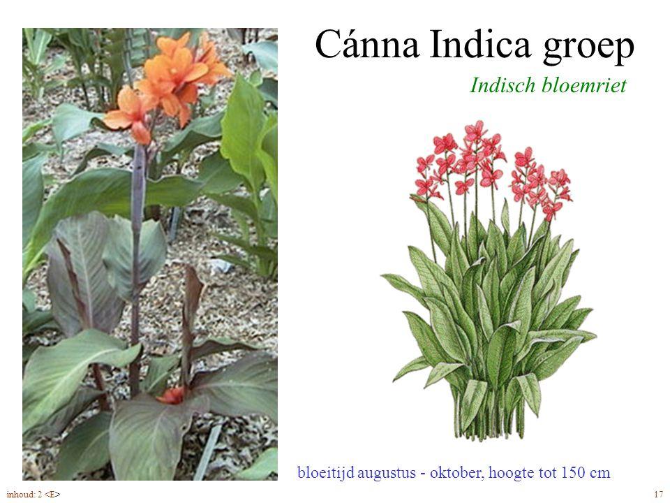 Cánna Indica groep bloeitijd augustus - oktober, hoogte tot 150 cm Indisch bloemriet inhoud: 2 17