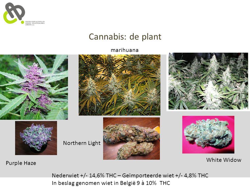 Cannabis: de plant marihuana Nederwiet +/- 14,6% THC – Geïmporteerde wiet +/- 4,8% THC In beslag genomen wiet in België 9 à 10% THC Purple Haze Northe