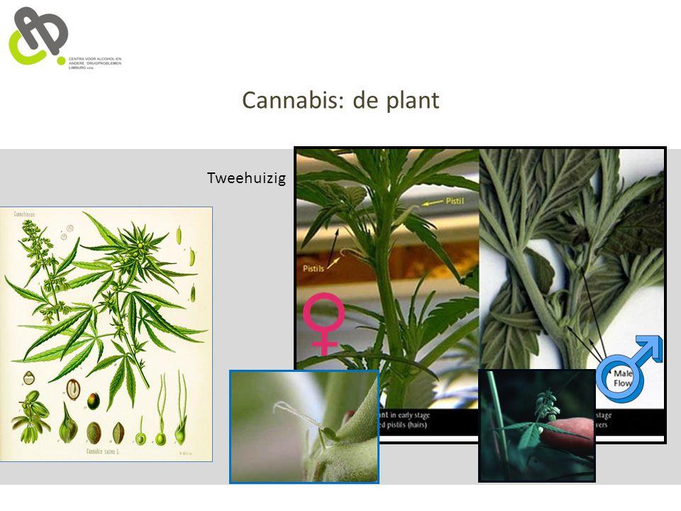 Cannabis: de plant Tweehuizig