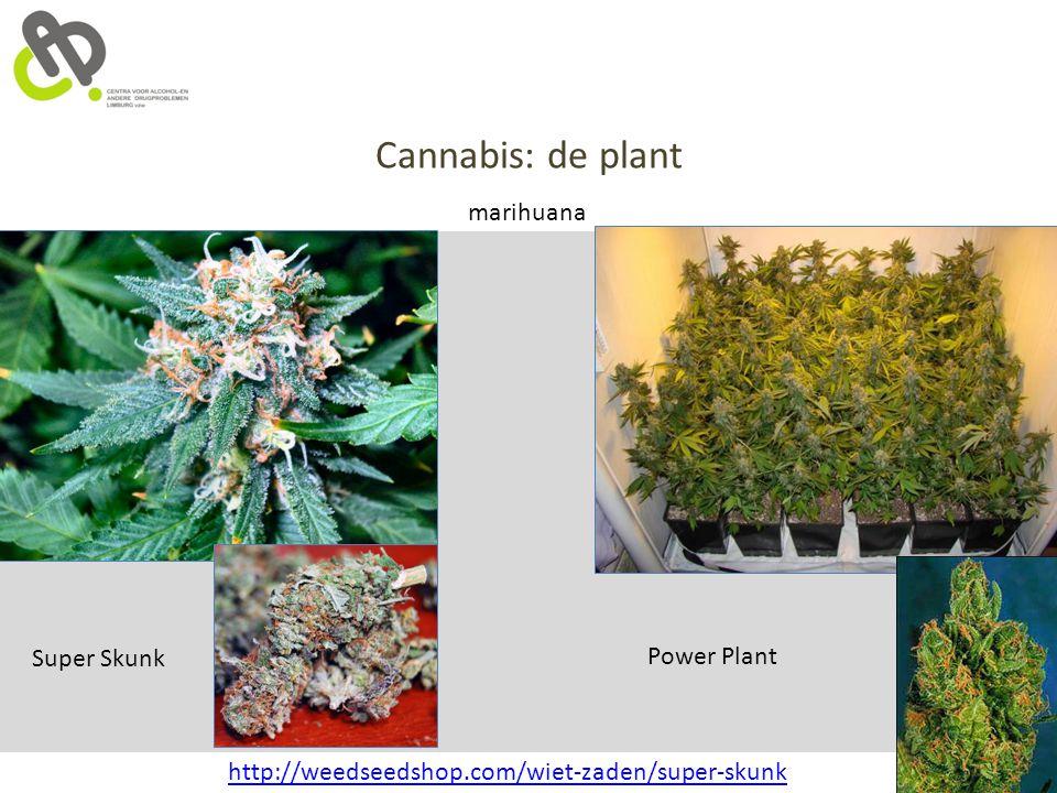 Cannabis: de plant marihuana Super Skunk Power Plant http://weedseedshop.com/wiet-zaden/super-skunk