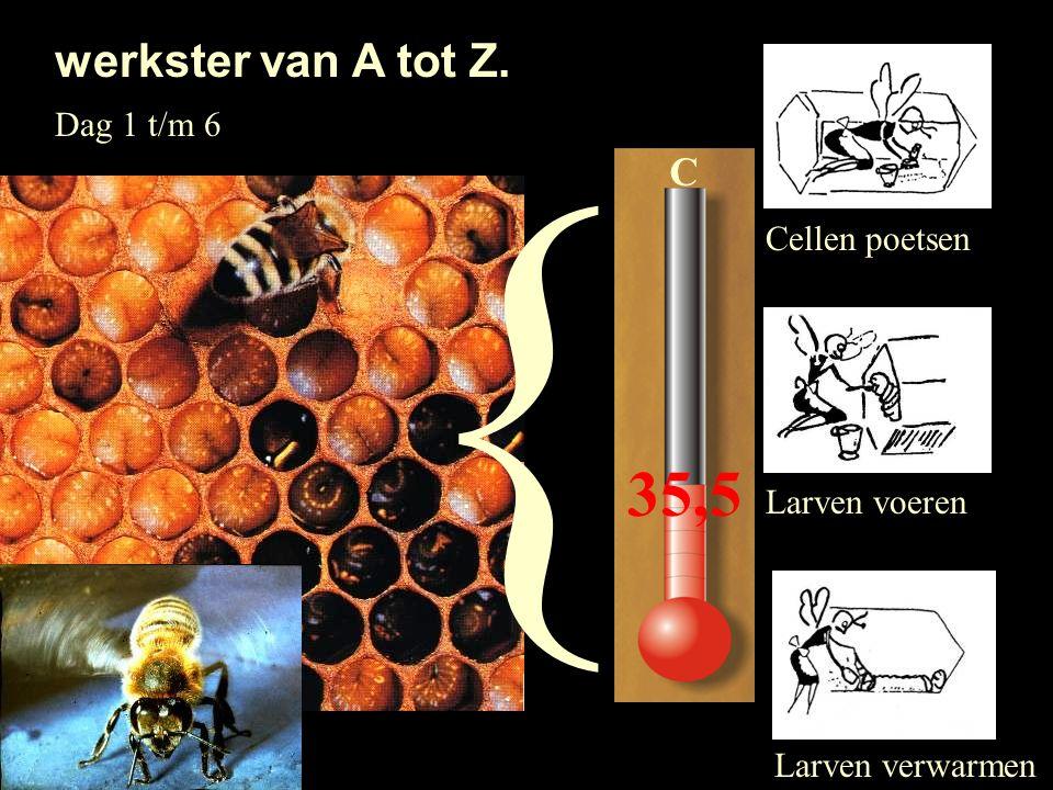 werkster van A tot Z. Cellen poetsen Larven voeren Larven verwarmen Dag 1 t/m 6 C 35,5 {