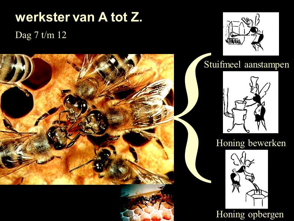 { Stuifmeel aanstampen Honing bewerken Honing opbergen Dag 7 t/m 12 werkster van A tot Z.