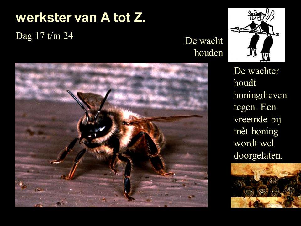 De wacht houden werkster van A tot Z. Dag 17 t/m 24 De wachter houdt honingdieven tegen. Een vreemde bij mèt honing wordt wel doorgelaten.