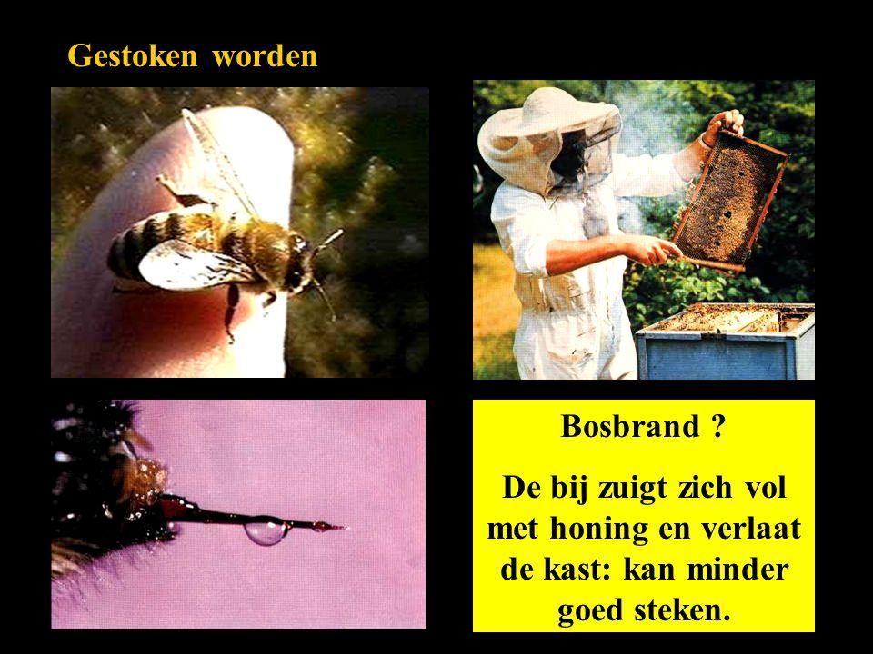 Gestoken worden Bosbrand ? De bij zuigt zich vol met honing en verlaat de kast: kan minder goed steken.