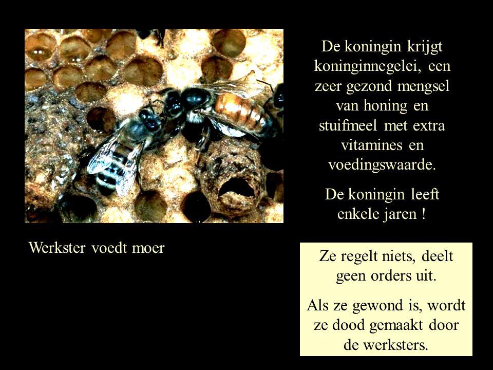 Werkster voedt moer De koningin krijgt koninginnegelei, een zeer gezond mengsel van honing en stuifmeel met extra vitamines en voedingswaarde. De koni
