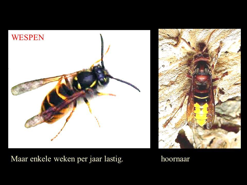 WESPEN Maar enkele weken per jaar lastig. hoornaar