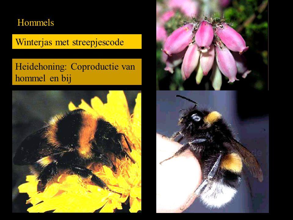 Hommels Winterjas met streepjescode Heidehoning: Coproductie van hommel en bij