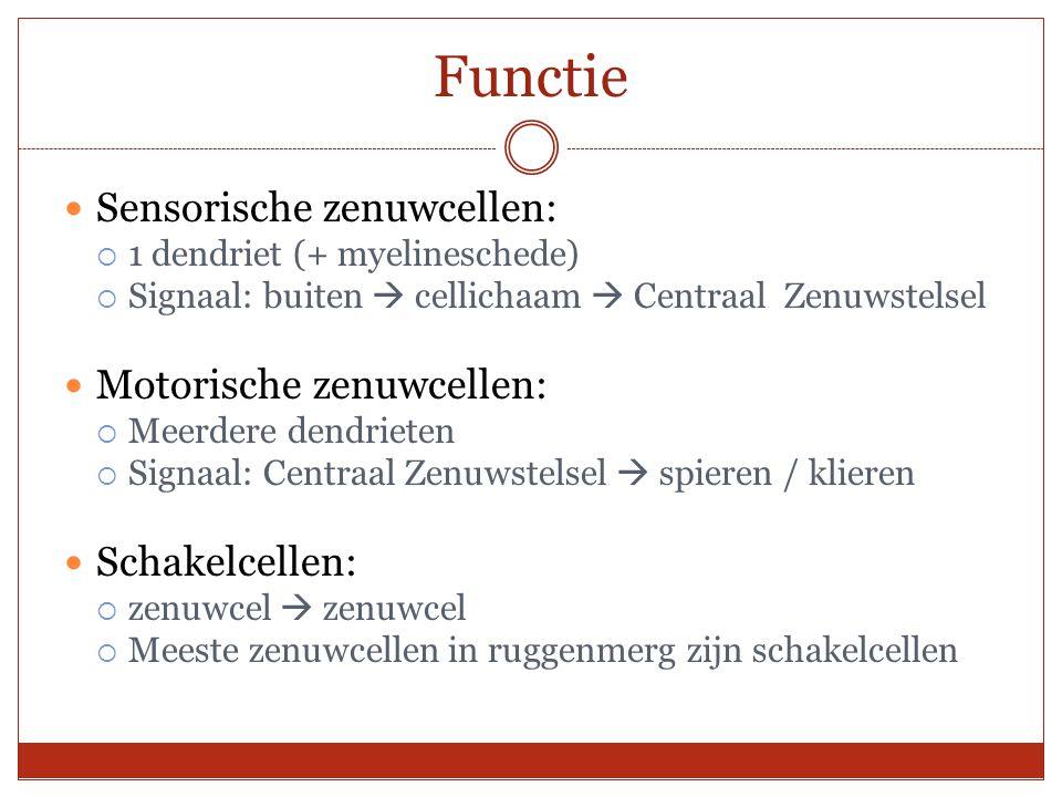Functie Sensorische zenuwcellen:  1 dendriet (+ myelineschede)  Signaal: buiten  cellichaam  Centraal Zenuwstelsel Motorische zenuwcellen:  Meerd