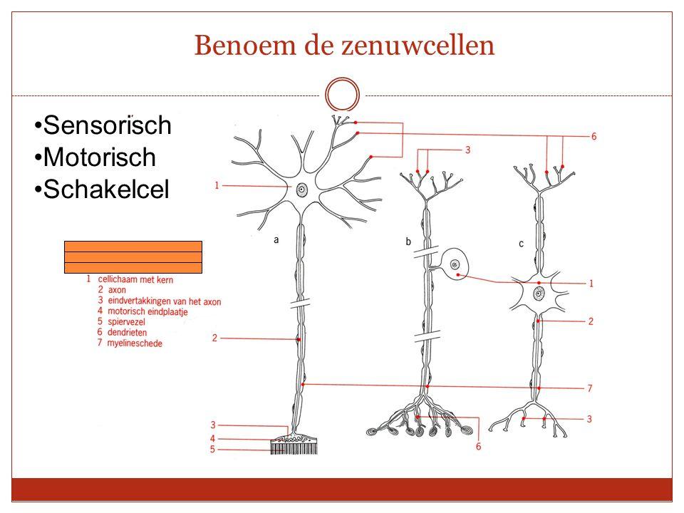 Sensorisch Motorisch Schakelcel Benoem de zenuwcellen