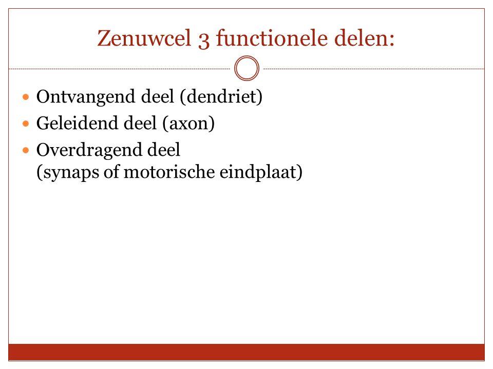 Zenuwcel 3 functionele delen: Ontvangend deel (dendriet) Geleidend deel (axon) Overdragend deel (synaps of motorische eindplaat)