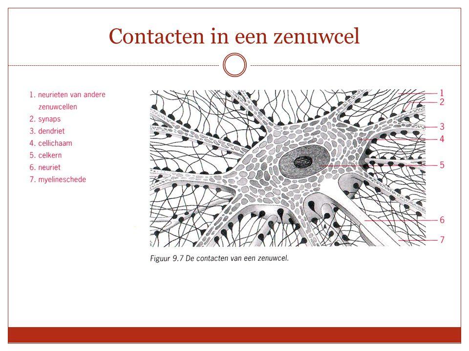 Contacten in een zenuwcel