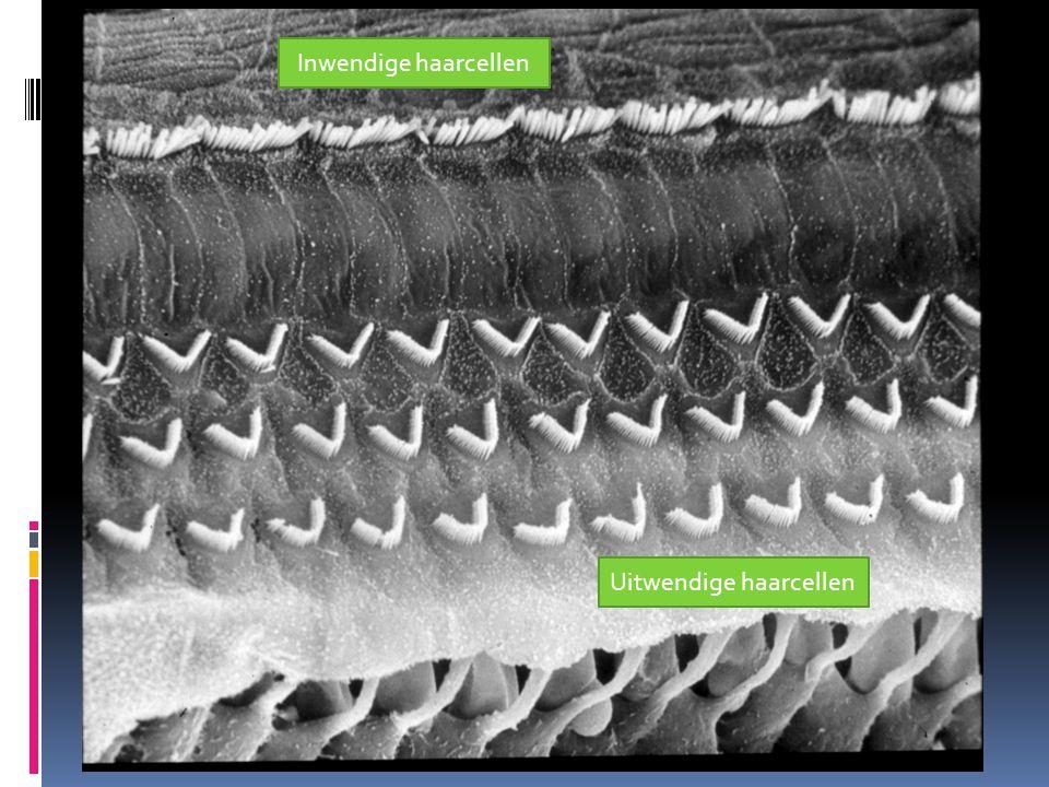 Inwendige haarcellen Uitwendige haarcellen
