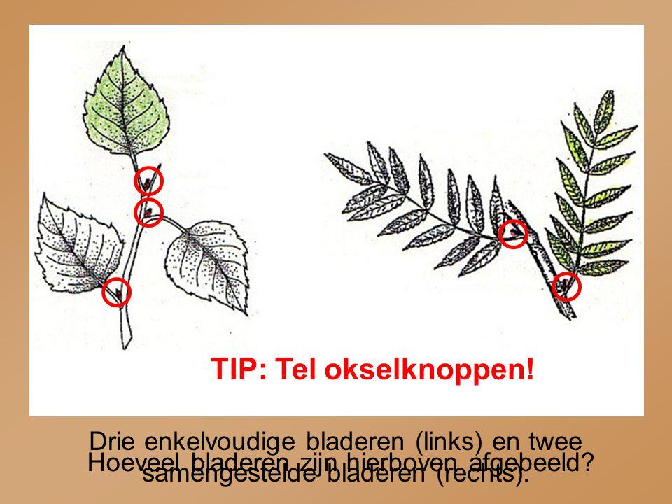 Drie enkelvoudige bladeren (links) en twee samengestelde bladeren (rechts). TIP: Tel okselknoppen! Hoeveel bladeren zijn hierboven afgebeeld?