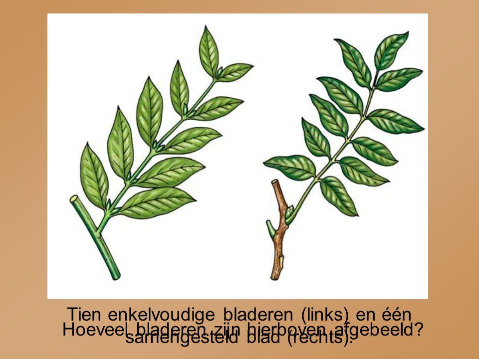 Tien enkelvoudige bladeren (links) en één samengesteld blad (rechts). Hoeveel bladeren zijn hierboven afgebeeld?