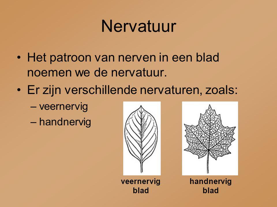 Nervatuur Het patroon van nerven in een blad noemen we de nervatuur. Er zijn verschillende nervaturen, zoals: –veernervig –handnervig veernervig blad