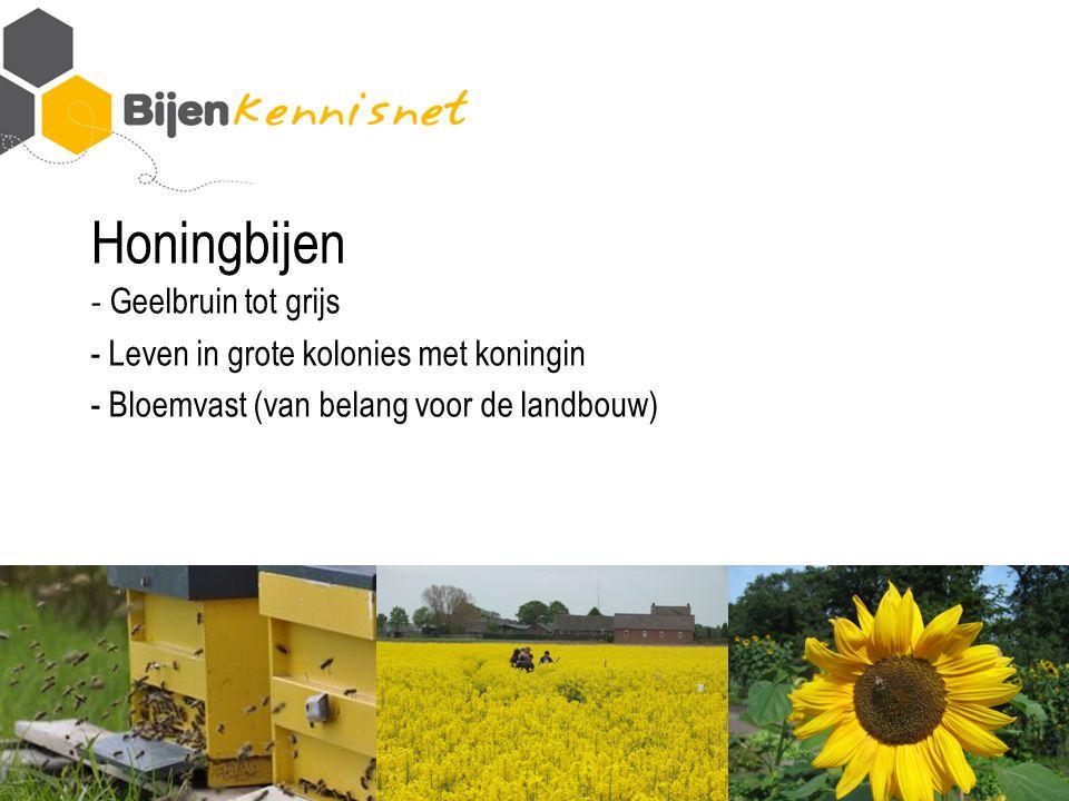 Honingbijen - Geelbruin tot grijs - Leven in grote kolonies met koningin - Bloemvast (van belang voor de landbouw)